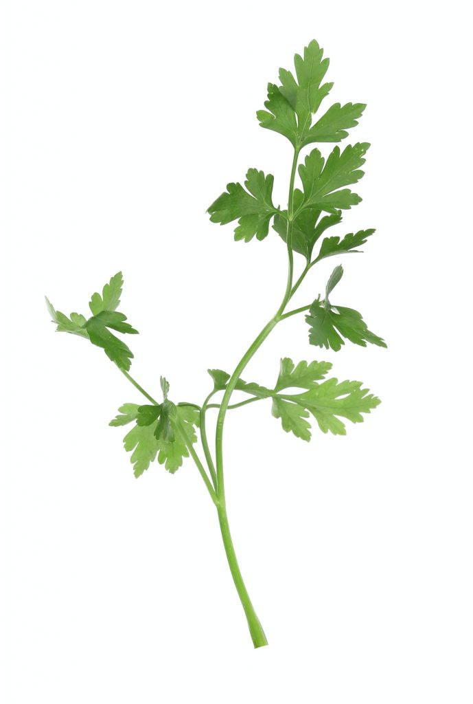 Parsley on a white background.